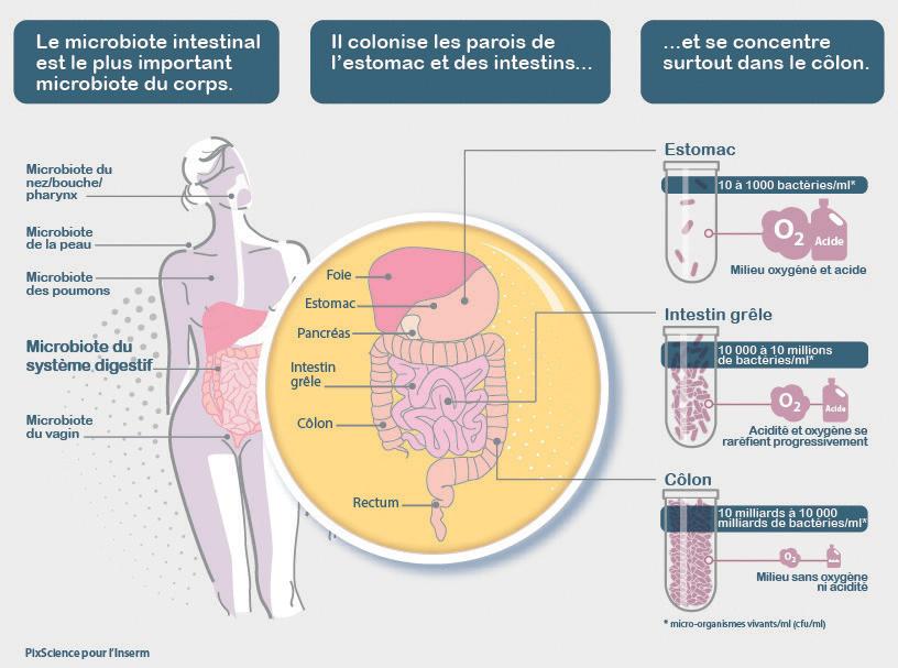 Le microbiote gastrique - Nutrition